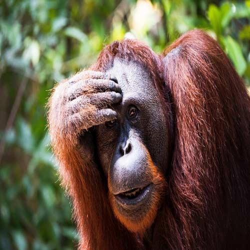 Orangutans--Tanjung-Puting