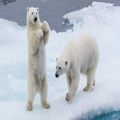 The Svalbard Islands- Polar bear
