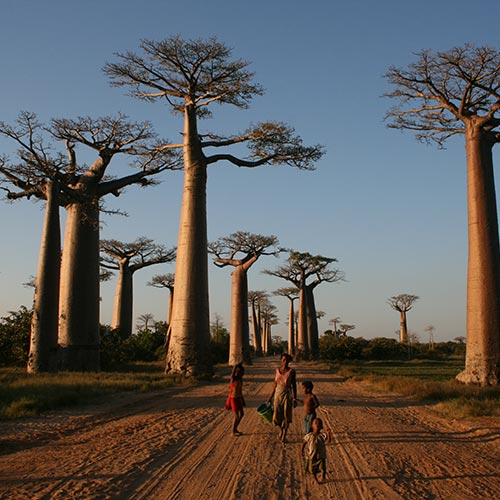 Avenue-of-the-Baobabs | Bucket List Group Travel