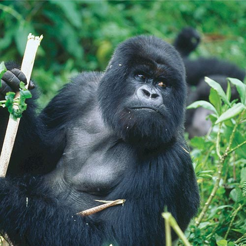 Gorilla-trekking | Bucket List Group Travel
