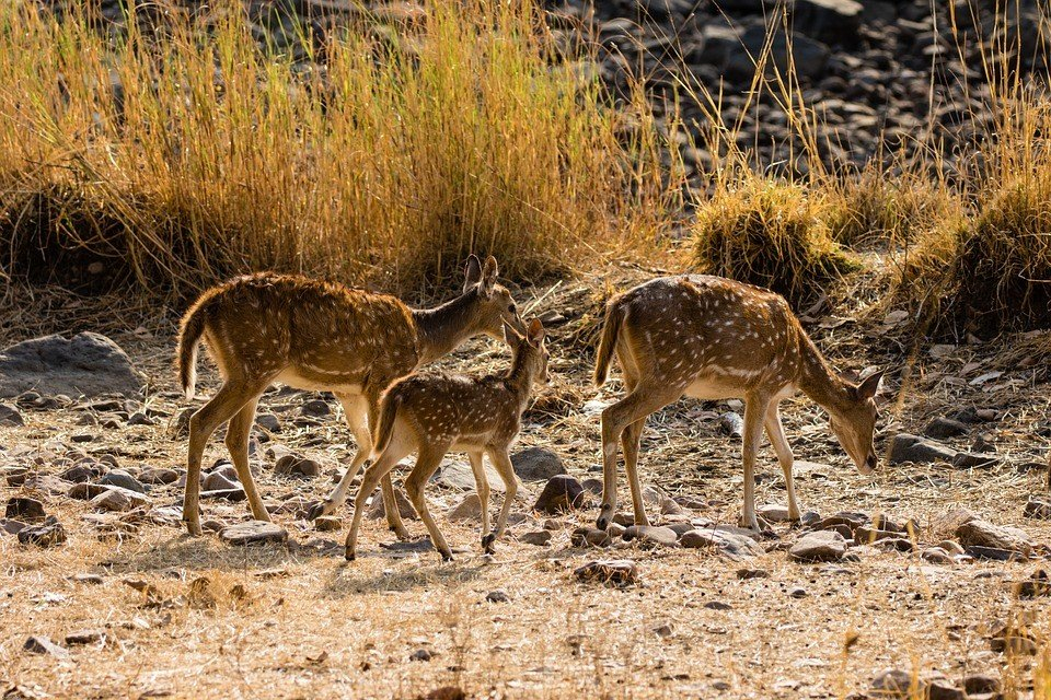 Jungle safari at Ranthambore
