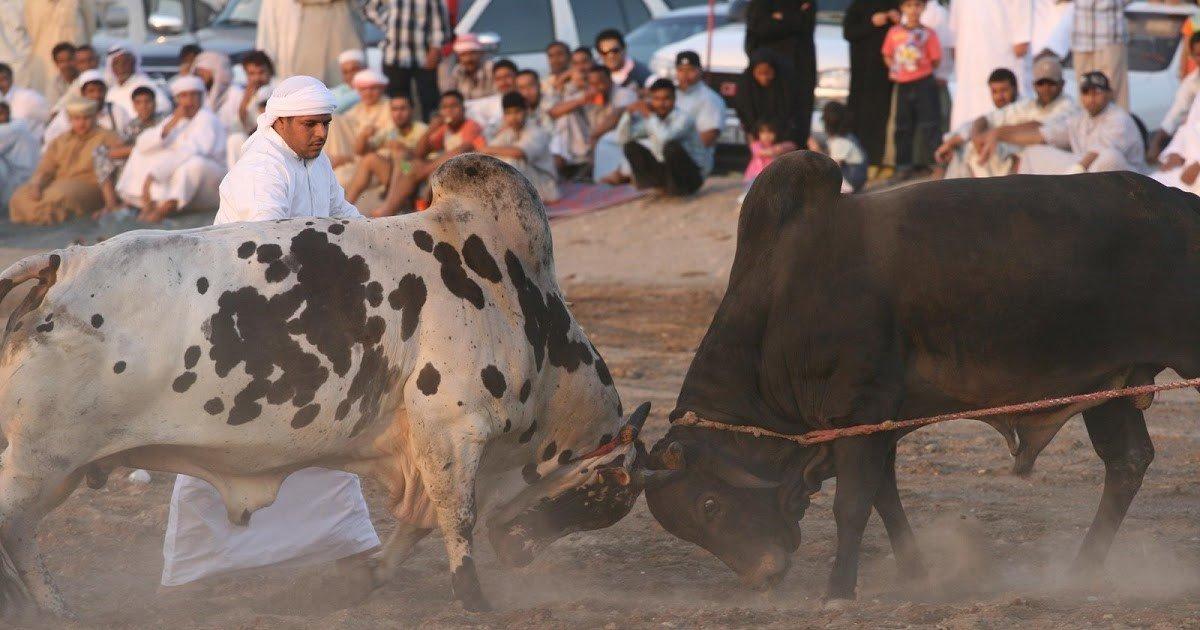 Bull-butting, Fujairah